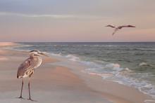 Great Blue Heron On The Beach At Sunrise