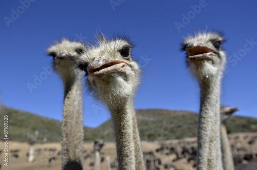 Spoed Foto op Canvas Struisvogel Ostrich - South Africa