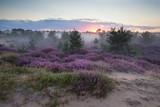 mglisty wschód słońca na wydmach z kwiatami wrzosu - 89170359