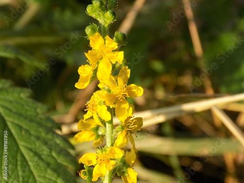 Photo Flowering agrimony