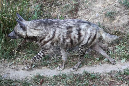 Poster Hyène Striped hyena (Hyaena hyaena).