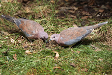 Laughing Dove (Spilopelia Sene...