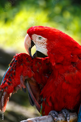 Foto op Canvas Rood paars アカコンゴウインコ