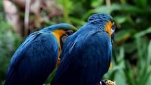 Guacamayo Azul-amarillo En La ...