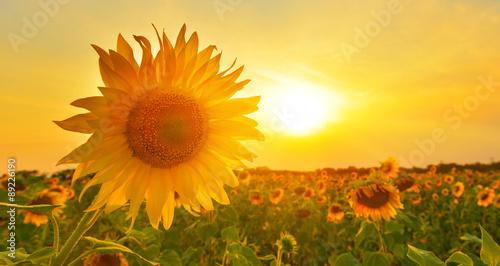In de dag Zonnebloem Sunny sunflower