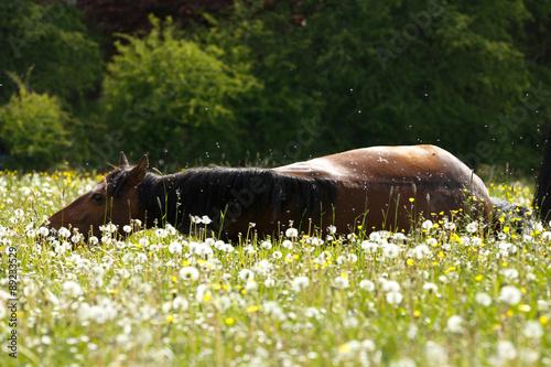 Keuken foto achterwand Ontspanning Pferd liegt in Blumenwiese