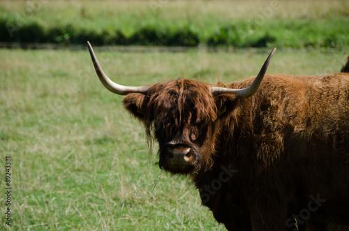 Fototapety, obrazy: Cow