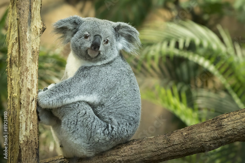Foto op Canvas Koala Koala closeup