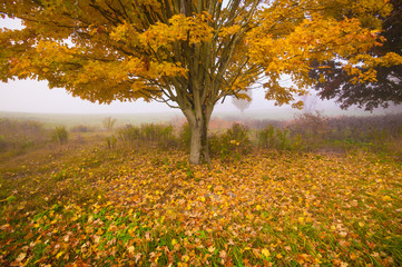 Obraz na Plexi Minimalistyczny Lone maple tree on a foggy fall morning in Vermont, USA