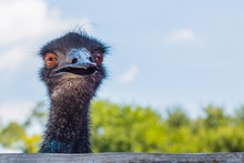 Frontal View Of Head Of Emu