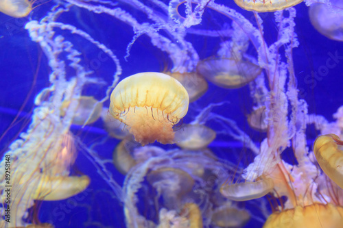 Pacific sea nettle jellyfish, Chrysaora fuscescens, is found along the coast of California and Oregon in the United States Poster