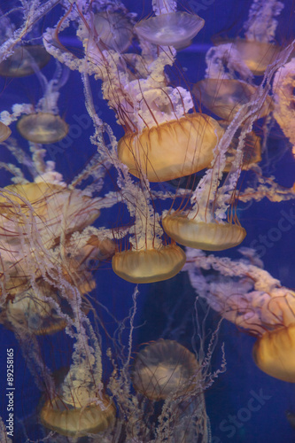 Photo  Pacific sea nettle jellyfish, Chrysaora fuscescens, is found along the coast of California and Oregon in the United States