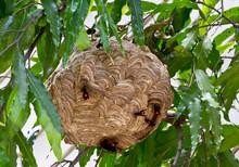 Hornet Nest Of Carnivore Or Ve...