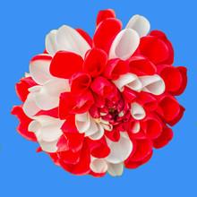 Fleur Bicolore De Dalhia Sur Fond Bleu