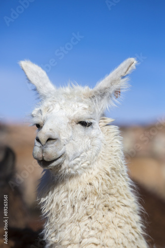 Staande foto Lama Llama against a blue clear sky in Bolivia
