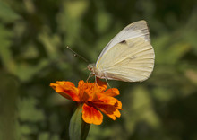 White Cabbage Butterfly Sitting On Marigold Flower