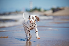Dalmatian Puppy On The Beach