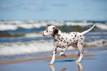 Dalmatian Puppy Running On The Beach