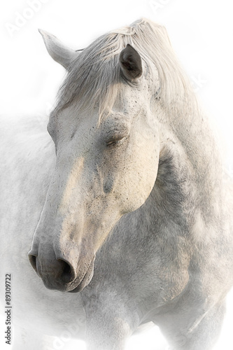 Portrait of a sleeping gray horse on a white background