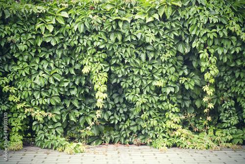 Green creeper plant Wallpaper Mural