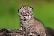 Baby Bobcat Kit (Lynx Rufus) Cries Atop Log