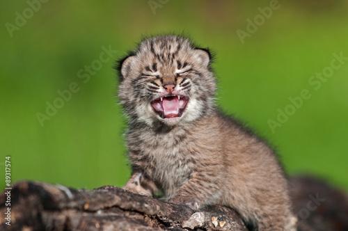 Baby Bobcat Kit (Lynx rufus) Cries Atop Log Canvas Print