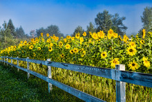 Sunflowers Along A White Post And Rail Fence.