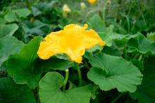 Pumpkin Squash Flower In Garden