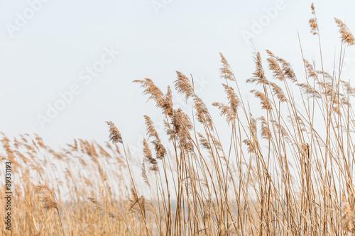 Foto Seedy reed stalks