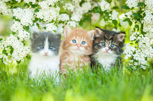 Three Little Kittens Sitting Near White Flowers