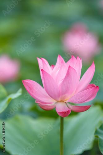 Foto op Aluminium Lotusbloem 蓮の花