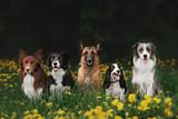 Fototapeta Dogs - four dogs sitting in the Park
