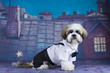 Shih Tzu puppy walking on the roof