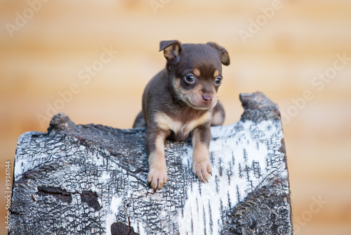Keuken foto achterwand Retro adorable chocolate tan puppy outdoors