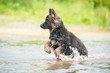 German shepherd puppy playing in the water