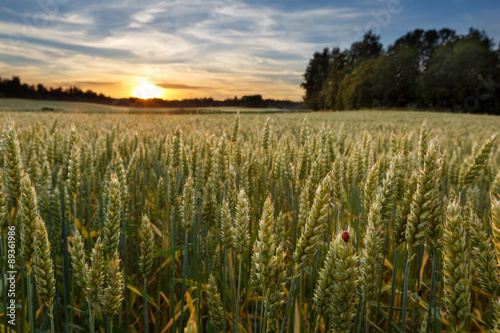 Tuinposter Platteland Sunset on wheat field in Finland with ladybug