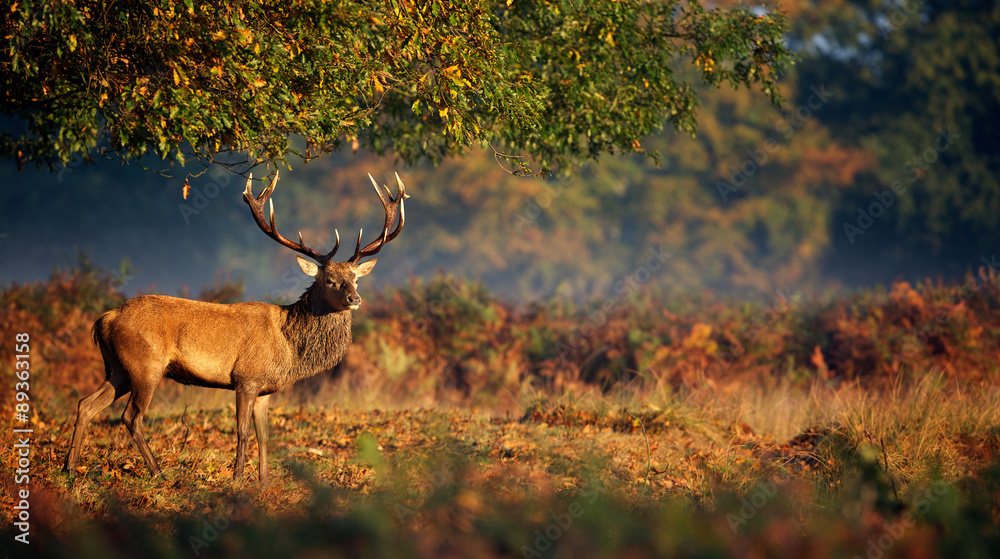 Red deer stag in morning sunlight