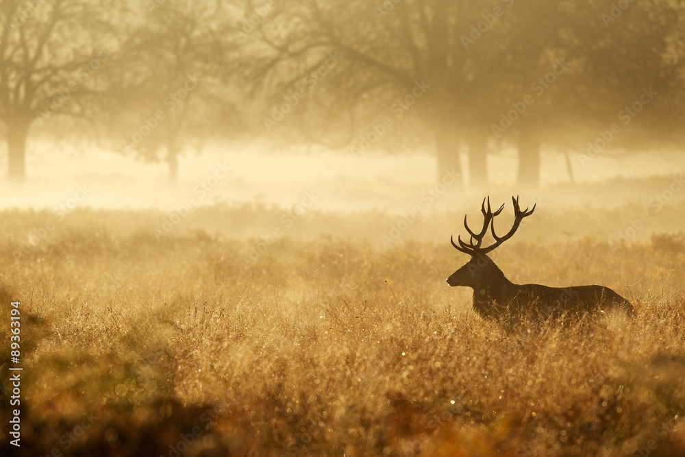 Fototapeta Red deer stag silhouette in the mist