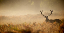 Red Deer Stag Silhouette In The Mist