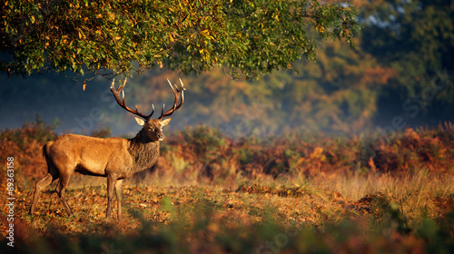 Poster Hert Red deer stag in morning sunlight