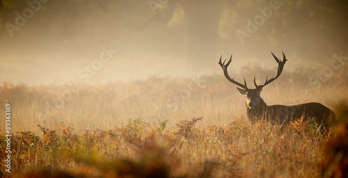 In de dag Hert Red deer stag silhouette in the mist