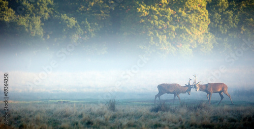 Poster Chasse two red stags sparing in the morning mist