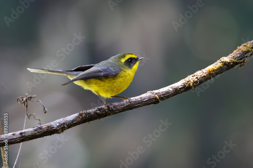 Photo  Yellow-bellied Fantail Rhipidura hypoxantha