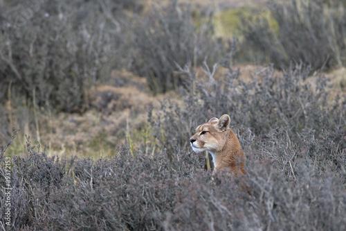 Staande foto Ree Puma auf der Jagd