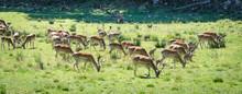 Summer Field Panorama Of Fallow Deer Herd