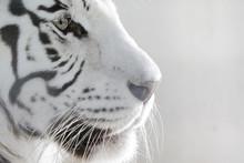 Porträt Weißer Tiger