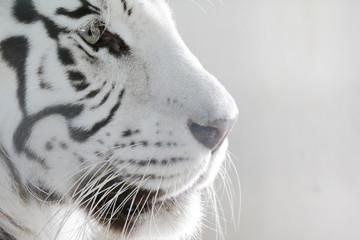 Fototapeta Porträt Weißer Tiger