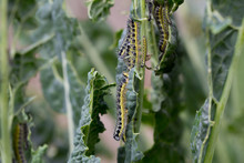 Cabbage White Caterpillars For...