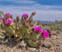 Beavertail Cactus Blooming In ...
