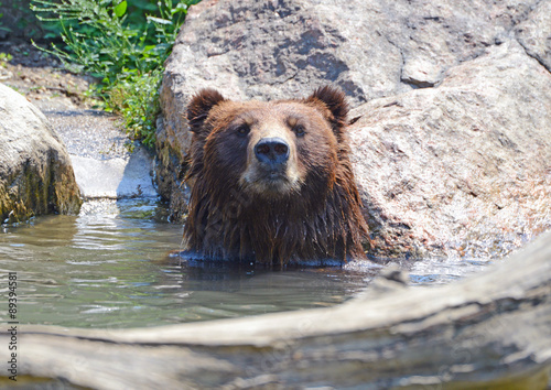 Fotografie, Tablou  Grizzly Bear - isolated